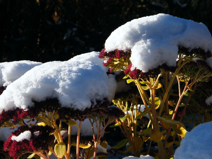 Winter Winter Garden Animal Themes Beauty In Nature Close-up Day Flower Flower Head Fragility Freshness Growth Nature No People Outdoors Plant Red Snow Snow In Sunshine Snow On Flowers White Color