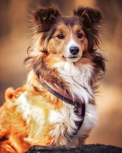 Sheltiesheepdog Sheltie Sheltiemix EyeEm Selects Pets Portrait Dog Looking At Camera Close-up Canine Animal Hair Hairy