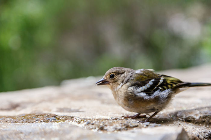 Animal Themes Animal Wildlife Animals In The Wild Beauty In Nature Bird Chaffinch Close-up Day Focus On Foreground Mourning Dove Nature No People One Animal Outdoors Perching Robin Sparrow