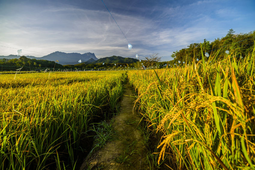 Brilliant scenery with golden paddy field and background of the kinabalu mount ASIA Kota Belud Landscape_Collection Agriculture Beauty In Nature Cereal Plant Crop  Day Farm Field Food Growth Landscape Mountain Nature No People Outdoors Plant Rice Paddy Rural Scene Sabah Scenics Sky Tranquility