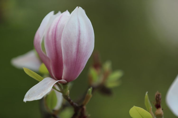 magnolia, Tulpenbaum Magnolia Magnolia Tree Tulpenbaum Beauty In Nature Botany Bud Close-up Flower Flower Head Flowering Plant Focus On Foreground Fragility Freshness Growth Inflorescence Nature No People Outdoors Petal Pink Color Plant Selective Focus Springtime Vulnerability