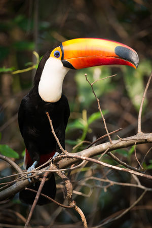 Animal Themes Animal Wildlife Animals In The Wild Beak Bird Branch Day Nature No People One Animal Outdoors Perching Toco Toucan
