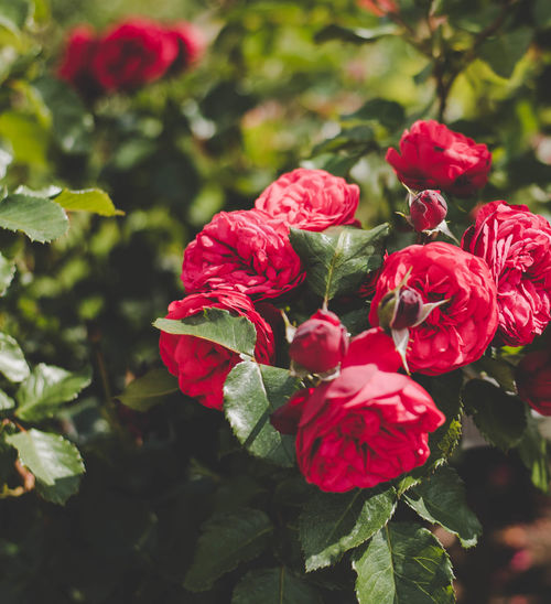 Roses Beauty In Nature Close-up Day Flower Flower Head Fragility Freshness Growth Leaf Nature No People Outdoors Petal Plant Red