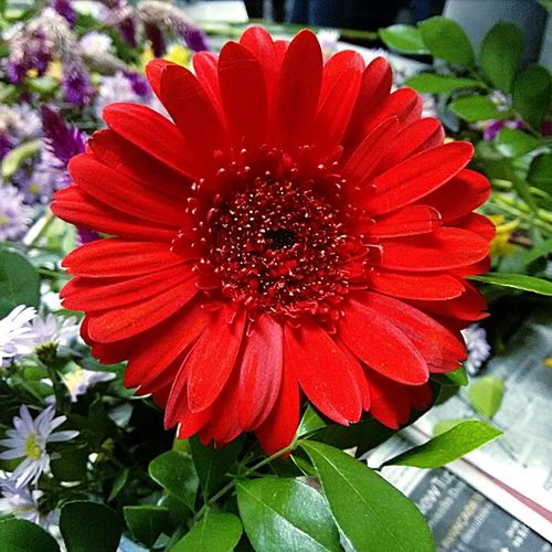 Flower Plant Nature Beauty In Nature No People Flower Head Fragility Indoors  Day Cellphone Photography Nature Human Hand Redflower With Yellow Center Flor Vermelho Iniciante <3 Futurephotographer