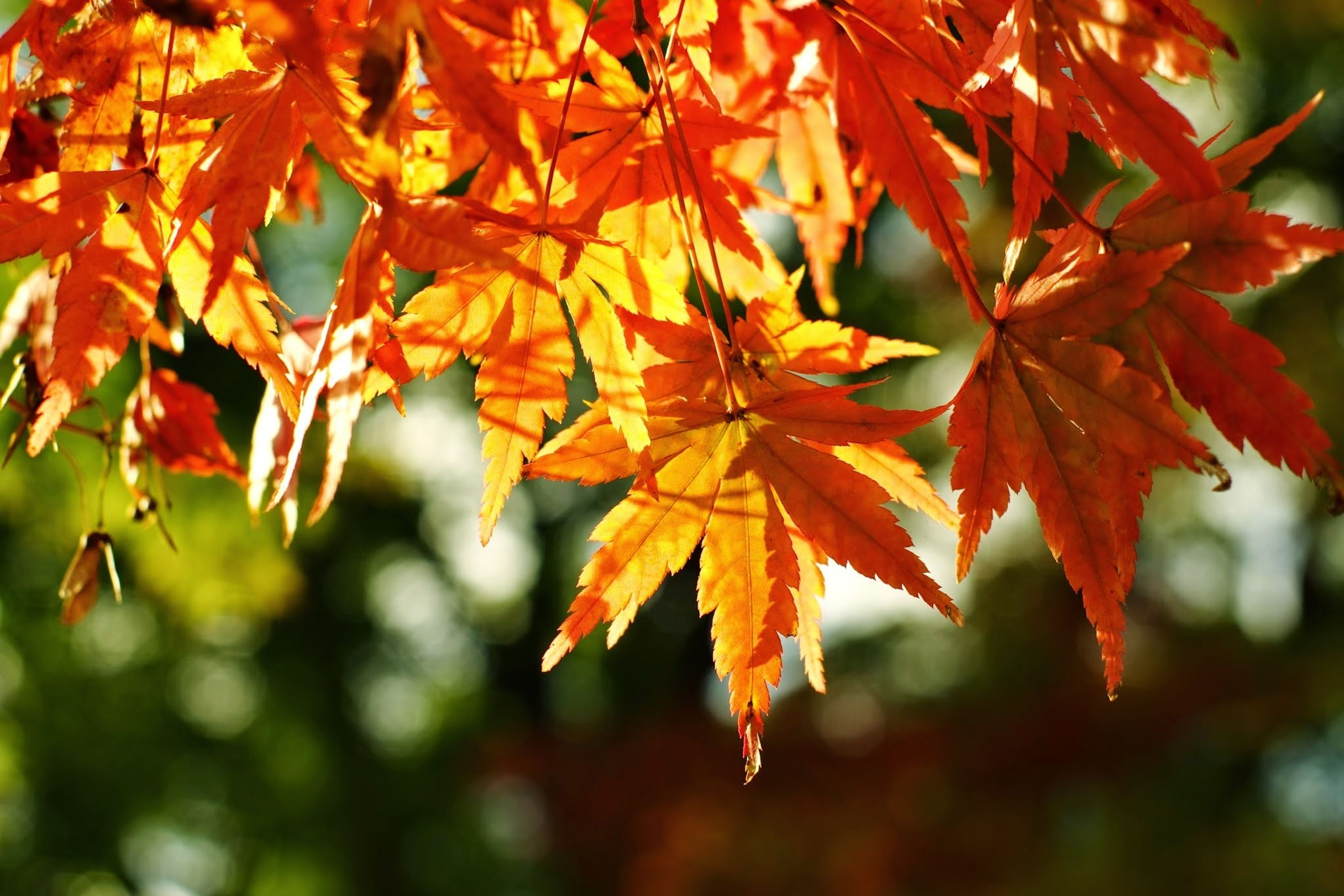 autumn, change, orange color, leaf, branch, focus on foreground, season, tree, close-up, growth, nature, red, beauty in nature, leaves, maple leaf, selective focus, tranquility, twig, outdoors, day