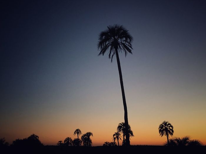 Palm Tree Tranquility Tree Scenics Silhouette Nature Beauty In Nature Growth Tranquil Scene Low Angle View Clear Sky Sunset Outdoors Sky No People Day Entre Rios Argentina Popckorn Field EyeEm Nature Lover Mobile Photography Cloud - Sky Palm Trees Palms