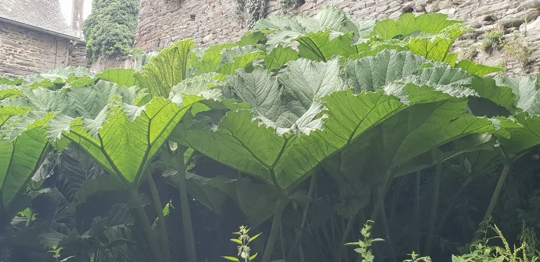 meanwhile, outside the castle wall... Nature Photography Huge Leaves Tree Close-up Growing Plant Life Botany
