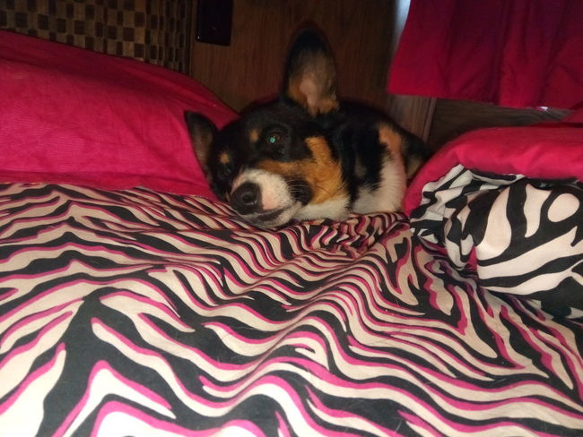 Pembroke Welsh Corgi Cute Puppy Pets Portrait Couch Potato Dog Looking At Camera Lying Down Bed Home Interior Bedroom Close-up