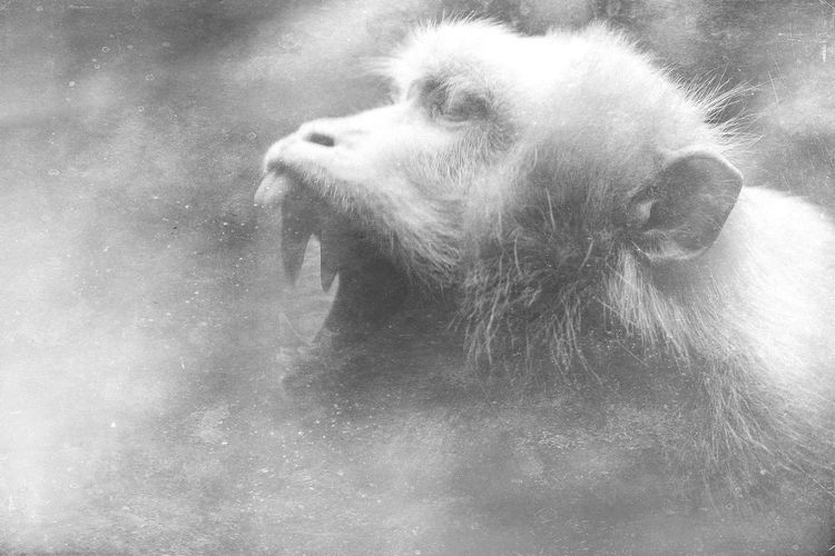 """All wound up On the edge Terrified~ Sleep disturbed Restless mind Petrified~"" Panic Attack Mextures Repost Anxiety  Aggression  Bare Teeth Monotone Monochrome Black And White Wild Animals Primate Monkey Macaque Portrait Nature Auto Post Production Filter Headshot One Animal"
