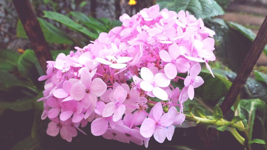 Nature Pink Color Freshness Flower Fragility Beauty In Nature Blooming No People Flower Head Close-up Purple Growth Plant Freshness Beauty In Nature EyeEm Nature Lover EyeEm Flower Nature Flower Collection Fleur Leaf Hydrengea Hydrangea In Bloom Hydrangea Flower Millennial Pink