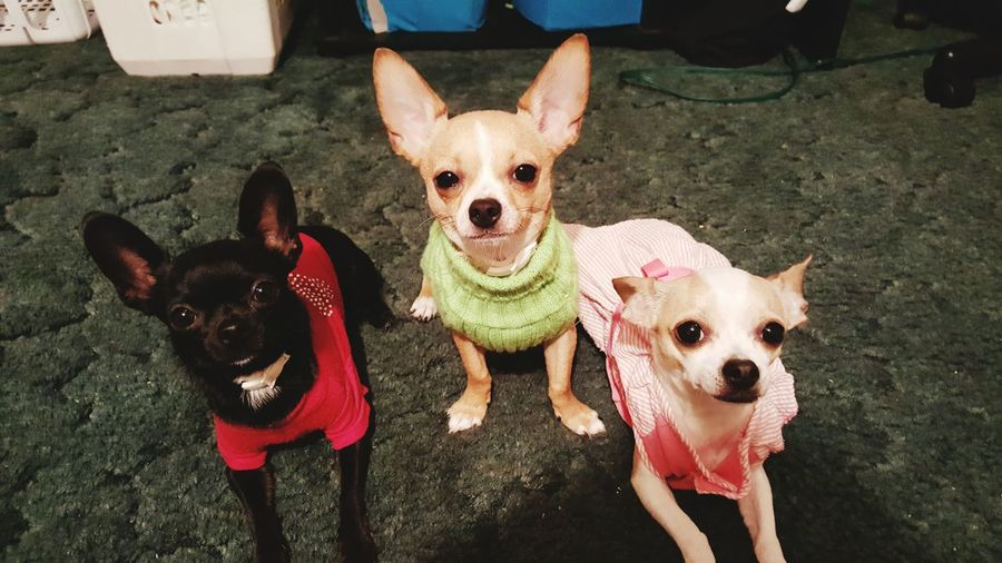 My Babies ❤  Chihuahua Love ♥ Taking Photos Dog Portrait Photogenicpuppy Little Rascals