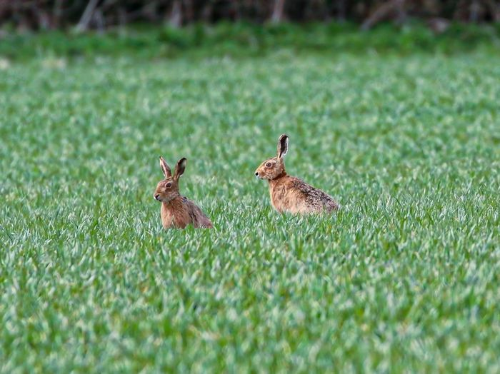 Hares on grassy field