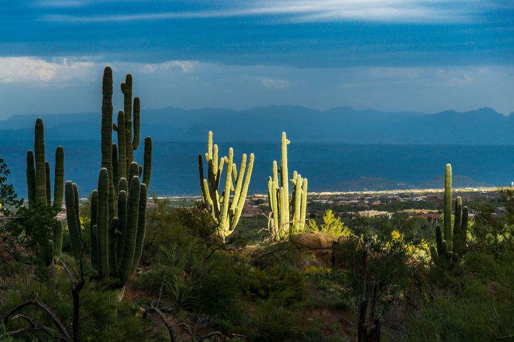 Cactus plants growing on land against sky