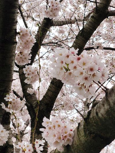 Cherry blossom Flowering Plant Flower Plant Blossom Tree Growth Freshness Cherry Blossom Botany Petal Nature Fragility Branch Springtime Beauty In Nature Vulnerability  White Color Close-up Day No People