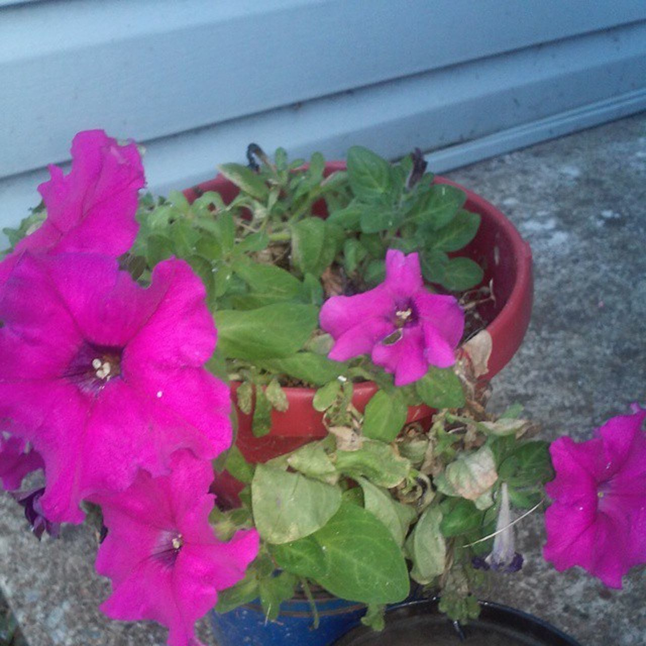 flower, plant, growth, pink color, petal, fragility, leaf, nature, beauty in nature, freshness, flower head, blooming, potted plant, outdoors, no people, day, petunia, periwinkle, close-up