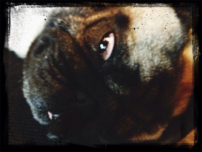 社長爆睡☆彡 Pug Love Pug Time Pug Sitter Pug Life