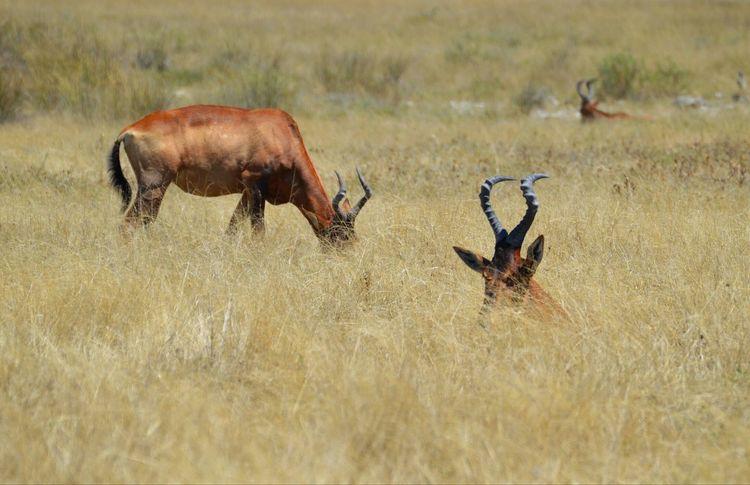 Resting Wildlife Etosha National Park Etosha Pan Wildlife & Nature Wildlife Photography Hartebeest Gazelle Namibia Landscape Savannah Day Outdoors Animal Themes Safari Animals Beauty In Nature