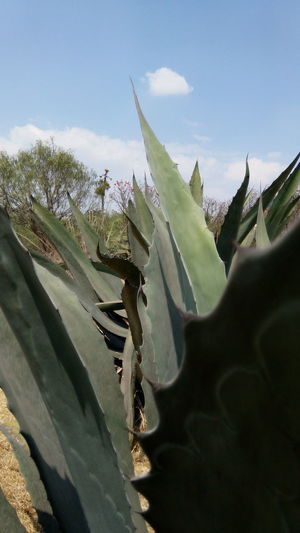 Agave Agave Plant Beauty In Nature Close-up Day Freshness Green Color Growth Leaf Nature No People Outdoors Plant Prickly Pear Cactus Sky Tranquility