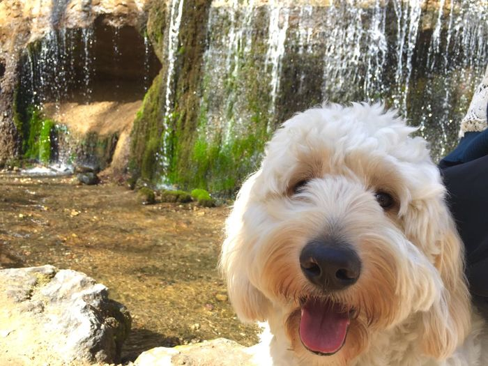 Goldendoodle doodle ゴールデン First Eyeem Photo Dogs Dog Love My Dog Dog Doglover I Love My Dog