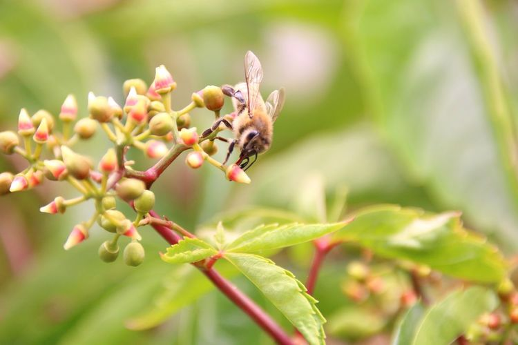 Virginia Creeper EyeEm Selects Bee Leaf Insect Branch Animal Themes Close-up Plant Honey Bee