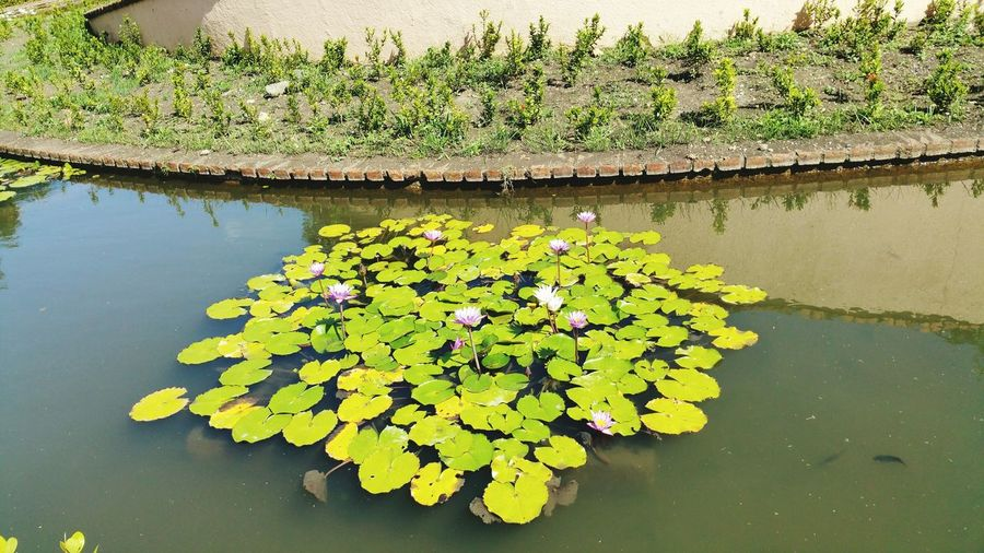 Water Plant Green Color Nature Lake Water Lily Floating On Water Day Flower Beauty In Nature Lilas Flores De Agua Lago