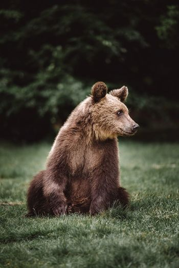Portrait of a cute brown bear. bear standing in the green grass in the wilderness forest. wild anima