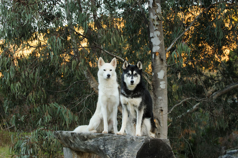 Siberian Husky dog Nature Siberian Husky Animal Animal Themes Day Dog Dog Photography Domestic Domestic Animals Forest Husky Mammal Nature No People Outdoors Pets Portrait Siberian Sitting Tree Two Dogs