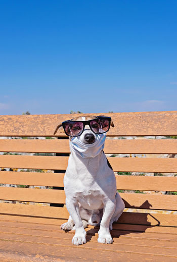 Portrait of a dog wearing sunglasses against clear blue sky