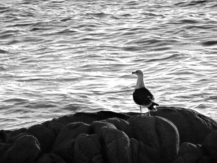 One gull front to the ocean in a 4x3 bnw photography Gull Ocean Atlantic Gray Rocks Gray Bnw Full Lenght On Rock One Bird Black And White Black And White Photography Focus On Foreground Bird Water Perching Sea