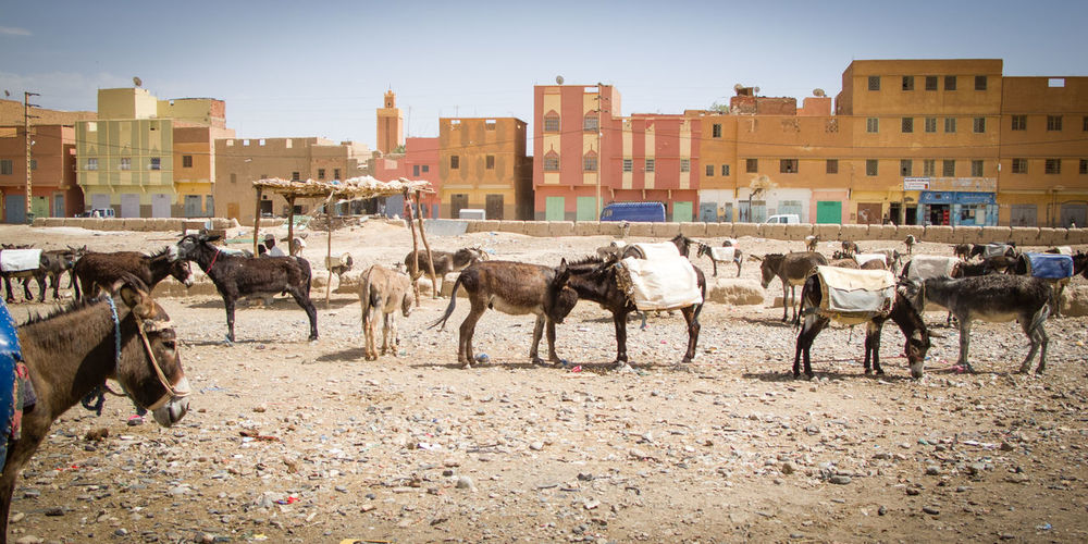 Domestic Animals Mammal Donkey Working Animal Herbivorous Animal Day Group Of Animals Animal Themes Outdoors Herd