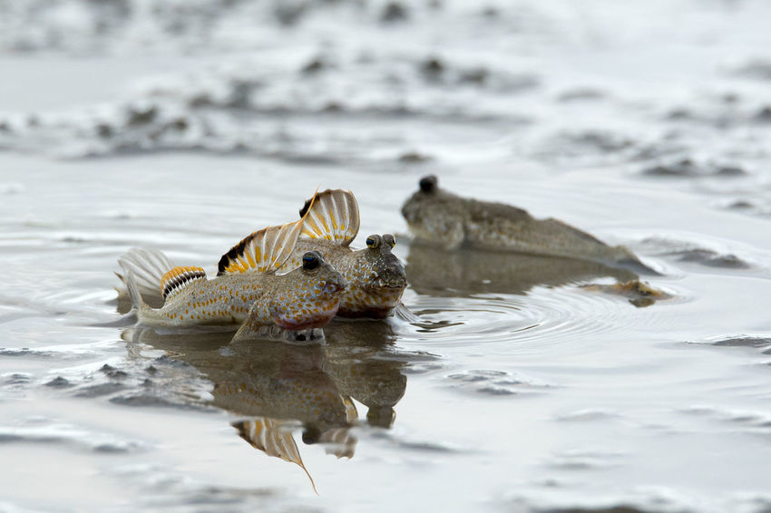 two mudskipper starring at same direction on a mud area of beach Bulging Eyes Amphibious Animal Wildlife Animals In The Wild Fish Fish On Land Mud Hopper Fish Mudskipper Nature Periophthalmus Sea Walking Fish Water