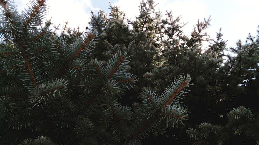 ёлка дерево Иголки хвоя зима Москва красота Природа