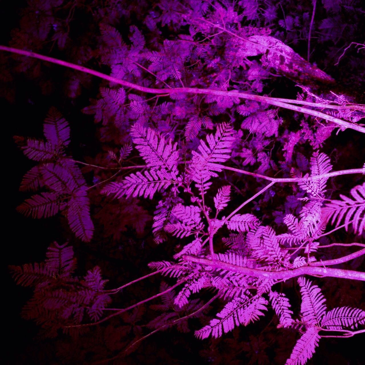 Purple Leaves On Branch At Night