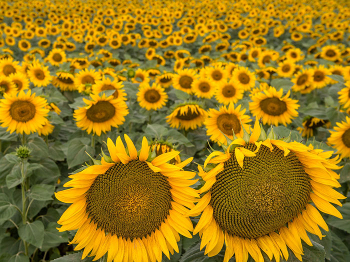 Full Frame Shot Of Sunflowers Blooming On Field