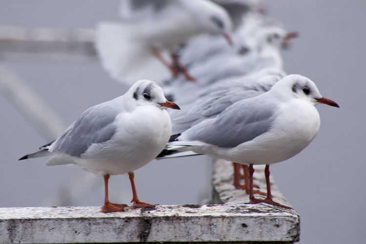 Kittiwakes / birds / seagull in a row on a fence by the water