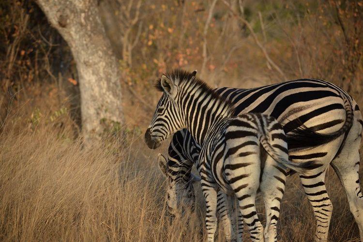 View of zebra standing on field