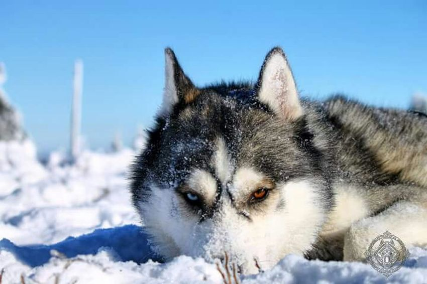 Siberian Husky Dog Animal Nature Mountain Snow ❄ Mushing Husky Huskies First Eyeem Photo