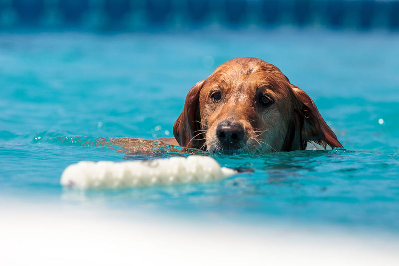 Golden retriever swims with a toy and plays in a pool in summer. Canine Dog Dogs Fetch Fun Golden Golden Retriever Play Retriever Swim Toy
