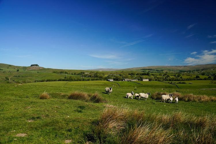 View of sheep on grassy field against blue sky