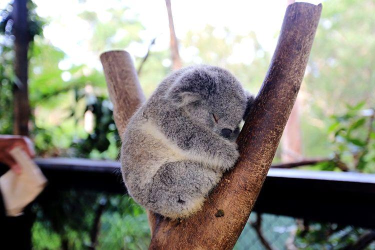 Close-up of koala sleeping on tree trunk