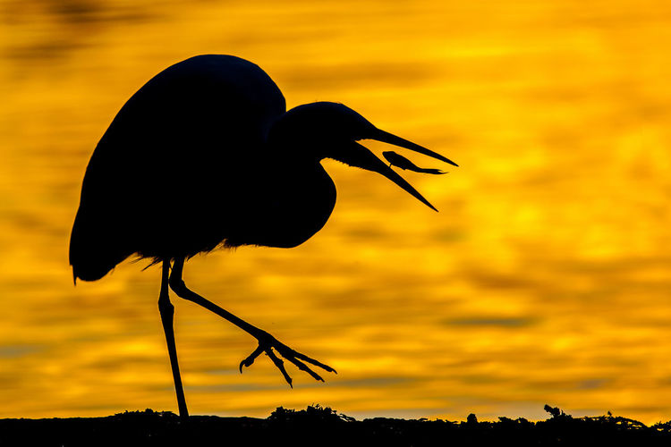 Close-up side view of silhouette bird with catch