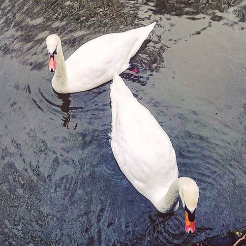 Sorry, no bread for you guys! Swan Swans Birds Animals Nature Ware RiverLea Canal Hertfordshire Picoftheday Two Couple Pair England Uk Closeup ICAN Sonyxperia Sony XperiaZ3