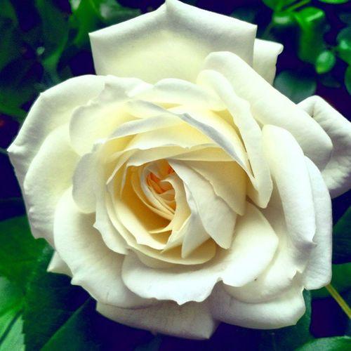 White Rose Gardenfair Beautiful Beauty Nature gardening