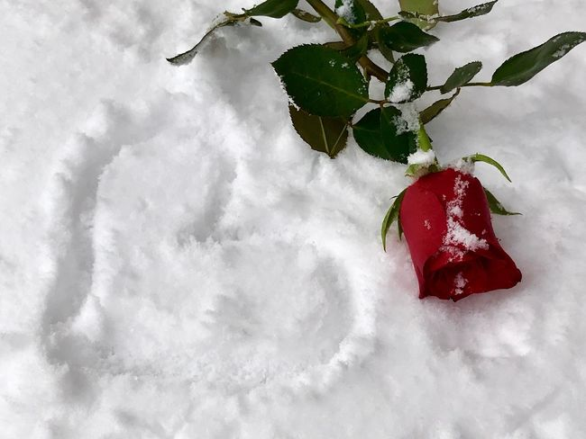 Cold Temperature Romantic Valentine's Day  Writing On Snow Snow Rose - Flower Red Rose Heart Shape Heart Red Weather Winter No People Cold Temperature Snow Flower Beauty In Nature