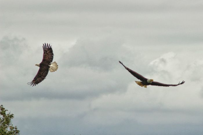 sparring Photography Eagles Wildlife Nature Raptors