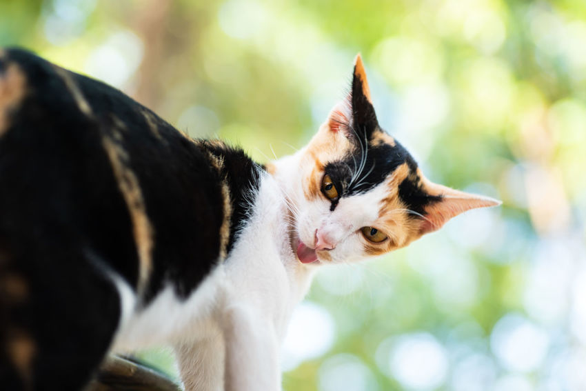Tricolor cat Pets Domestic Domestic Animals Domestic Cat Cat Animal Themes Mammal Animal Feline One Animal Looking Close-up Whisker Day Animal Head  Outdoors Mouth Open Kitten Licking Cute Cats Cute Pets Tricolor Cat