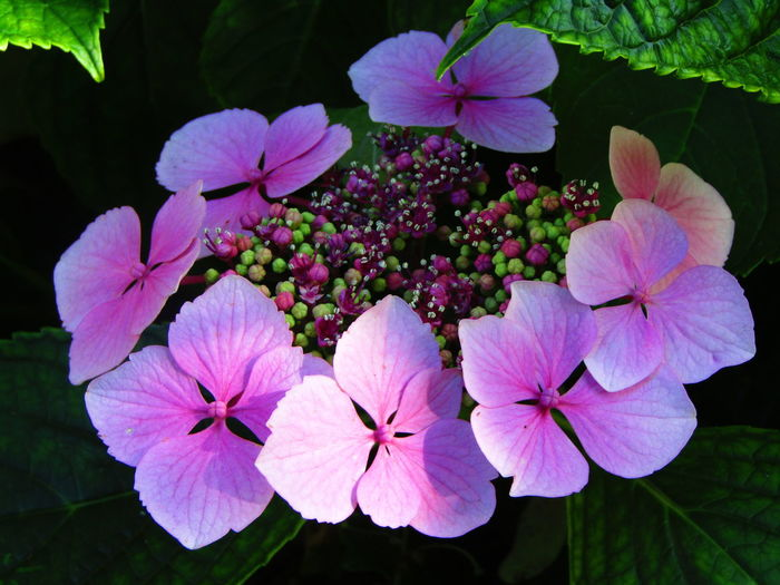 Evening Light Hydrangea In Bloom Pink Flower Nature On Your Doorstep Light And Dark Spaces Nature