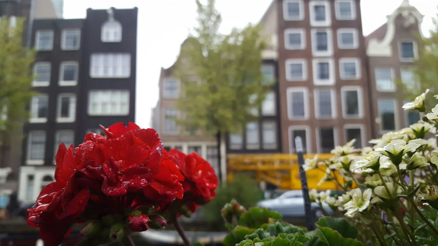 Flower Red Architecture Building Exterior Plant Built Structure Outdoors Nature No People Flower Head Day Growth Springtime Fragility Poppy Beauty In Nature Freshness Close-up City Window Box Amsterdam Amsterdamcity Netherlands Travelling Traveling