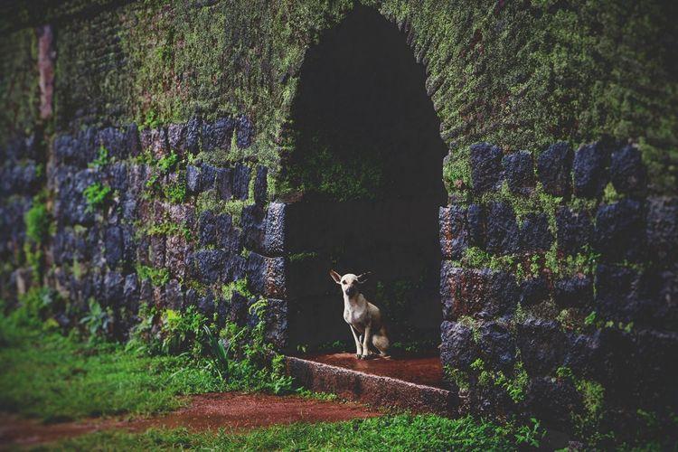 Rainland Sakleshpur, Manjarabad fort. Rainyseason Dogs Wet Ground