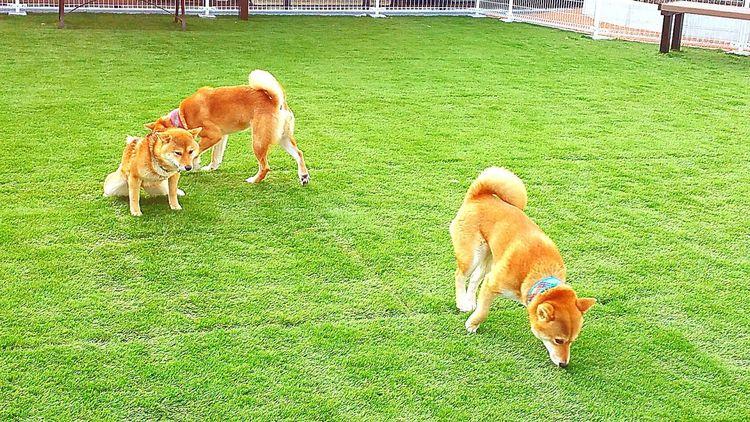 おはようございます。富士川SA(上り)にドッグランが出来て、私的には初めて入って遊ばせてみました。3匹とも自由に楽しそう♪ただ、他のわんちゃんがいる時間は仲良く出来ないので無理かなぁ。思いっきり遊んだ朝散歩でした。 ドッグラン 富士川SA 富士川楽座 富士川観覧車 富士川サービスエリア 富士市 Fujicity フジスカイビュー Good Morning Hello World Dog Pets 柴犬 Shiba Inu